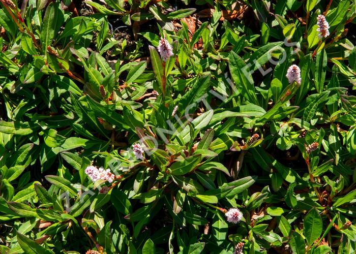 Rdesno 'Darjeeling Red' - Bistorta affinis 'Darjeeling Red'
