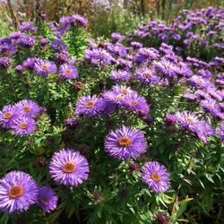 Hvězdnice novoanglická 'Purple Dome' - Aster novae-angliae 'Purple Dome'