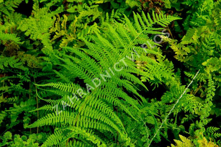 Kapradinka skalní - Woodsia obtusa