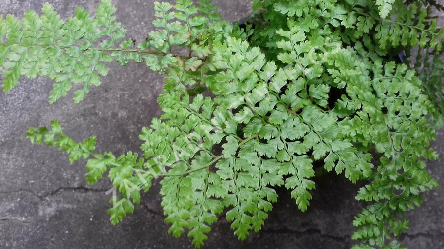 Kapradina štětinonosná 'Plumosum-densum' - Polystichum setiferum 'Plumosum-densum'