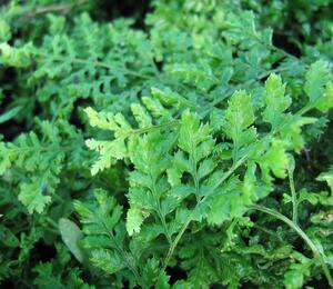 Kapraď 'Crispa Whiteside' - Dryopteris austriaca 'Crispa Whiteside'
