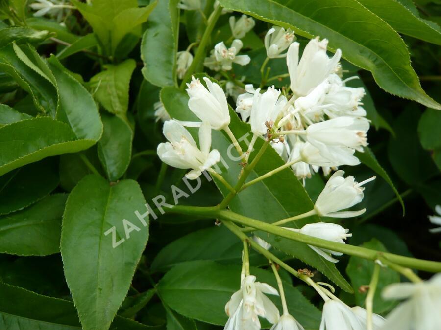 Klokoč kavkazský - Staphylea colchica