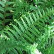 Kapraď rezavá 'Crispa Cristata' - Dryopteris affinis 'Crispa Cristata'