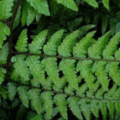 Papratka - Athyrium vidalii