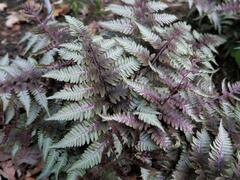 Papratka japonská 'Silver Falls' - Athyrium niponicum 'Silver Falls