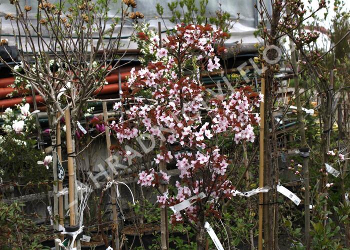 Slivoň Hillierova 'Spire' - Prunus hillieri 'Spire'
