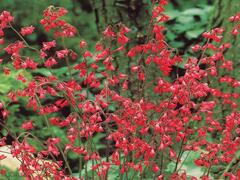 Dlužicha 'Ruby Bells' - Heuchera sanguinea 'Ruby Bells'