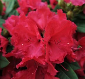 Pěnišník 'Red Jack' - Rhododendron (T) 'Red Jack'
