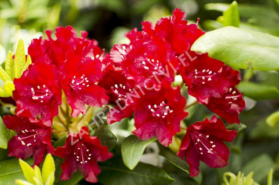 Pěnišník 'Sammetglut' - Rhododendron 'Sammetglut'