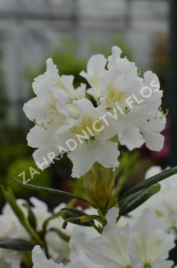 Pěnišník 'Cunningham's White' - Rhododendron (T) 'Cunningham's White'
