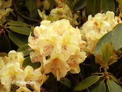 Pěnišník 'Belkanto' - Rhododendron (Y) 'Belkanto'