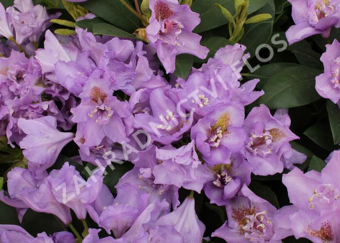 Pěnišník 'Fastuosum Flore Pleno' - Rhododendron 'Fastuosum Flore Pleno'