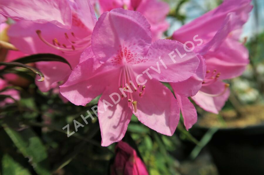 Pěnišník černomořský 'Graziella' - Rhododendron ponticum 'Graziella'