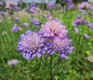 Hlaváč 'Misty Butterflies' - Scabiosa columbaria 'Misty Butterflies'