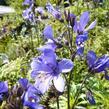 Jirnice jezoská 'Purple Rain Strain' - Polemonium yezoense 'Purple Rain Strain'