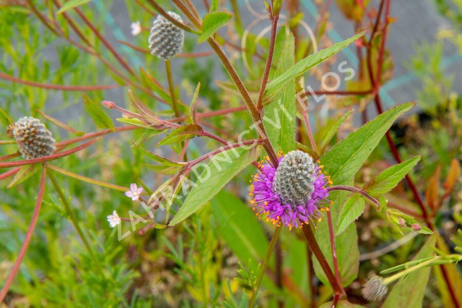 Dalea - Petalostemon purpureum