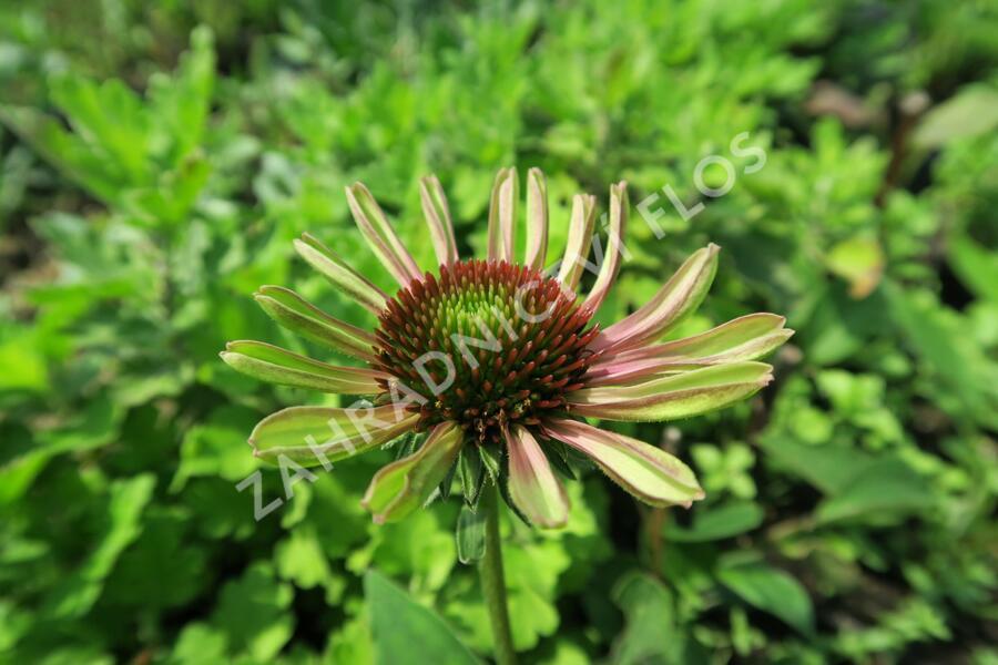 Třapatka nachová 'Green Twister' - Echinacea purpurea 'Green Twister'