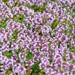 Mateřídouška 'Doone Valley' - Thymus x citriodorus 'Doone Valley'