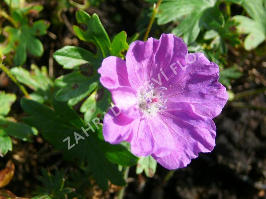 Kakost krvavý - Geranium sanguineum