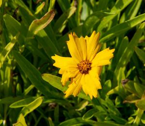 Krásnoočko velkokvěté 'Sunray' - Coreopsis grandiflora 'Sunray'