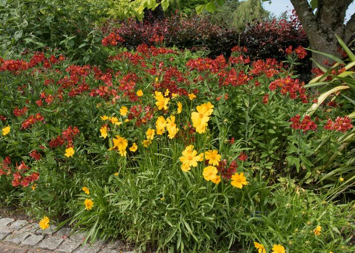 Krásnoočko velkokvěté 'Schnittgold' - Coreopsis grandiflora 'Schnittgold'