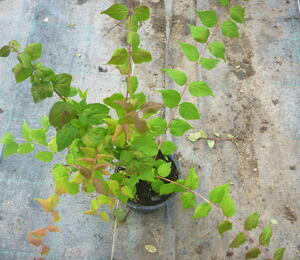 Kolkvície krásná - Kolkwitzia amabilis