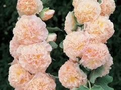 Topolovka růžová 'Chater's Chamois' - Alcea rosea plena 'Chater's Chamois'