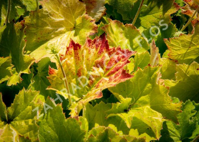 Dlužicha 'Autumn Bride' - Heuchera americana 'Autumn Bride'