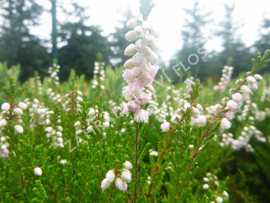 Vřes obecný 'Radnor' - Calluna vulgaris 'Radnor'