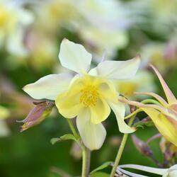 Orlíček 'Spring Magic Yellow' - Aquilegia caerulea 'Spring Magic Yellow'