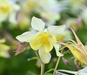 Orlíček 'Spring Magic Yellow' - Aquilegia caerulea 'Spring Magic Yellow'