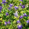 Orlíček 'Spring Magic Blue White' - Aquilegia caerulea 'Spring Magic Blue White'
