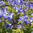 Orlíček 'Spring Magic Blue White' - Aquilegia caerulea 'Spring Magic Blue White'