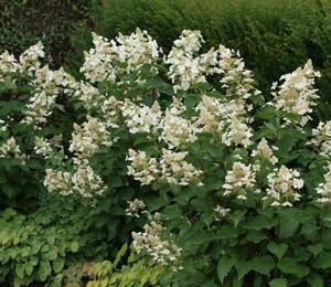 Hortenzie latnatá 'White Lady' - Hydrangea paniculata 'White Lady'