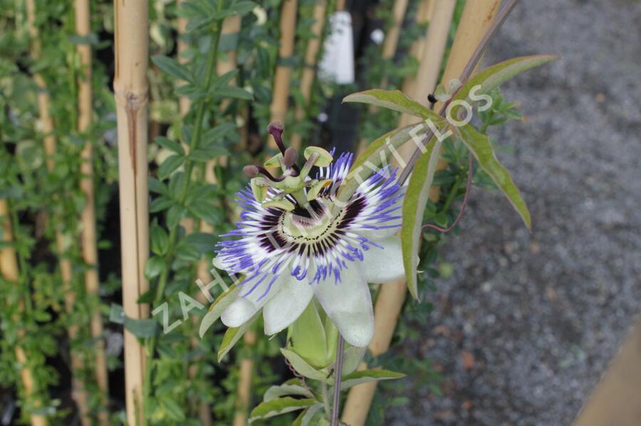 Mučenka modrá - Passiflora caerulea