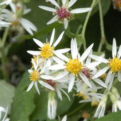Hvězdnice 'Beth Chatto' - Aster divaricatus 'Beth Chatto'
