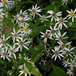Hvězdnice 'Beth Chatto' - Aster divaricatus 'Beth Chatto'
