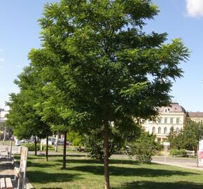Trnovník akát 'Bessoniana' - Robinia pseudoacacia 'Bessoniana'