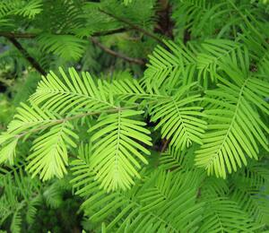 Metasekvoje tisovcovitá - Metasequoia glyptostroboides