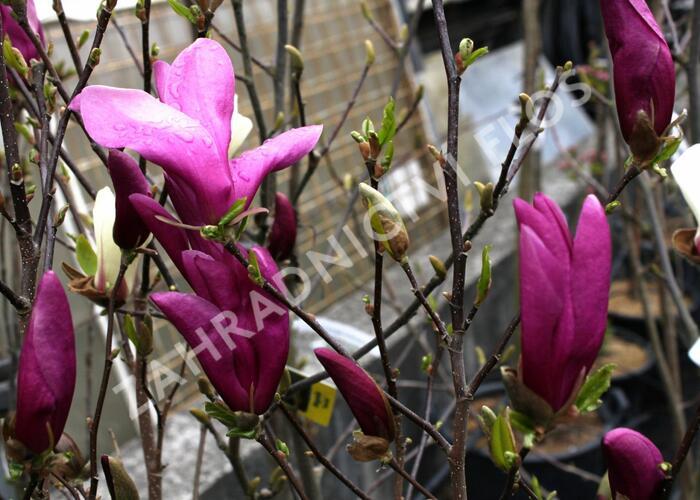 Šácholan 'Susan' - Magnolia 'Susan'