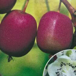 Aktinidie význačná, kiwi - samičí 'Purpurna Sadowa' - Actinidia arguta 'Purpurna Sadowa'