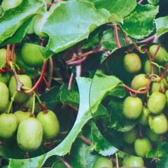 Aktinidie význačná, kiwi - samosprašná 'Kozolupy' - Actinidia arguta 'Kozolupy'