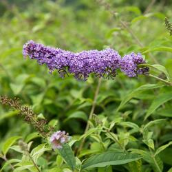 Motýlí keř, Komule Davidova 'Orchid Beauty' - Buddleia davidii 'Orchid Beauty'