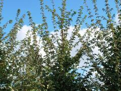 Javor babyka 'Elsrijk' - Acer campestre 'Elsrijk'