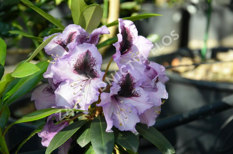 Pěnišník 'Blue Peter' - Rhododendron (T) 'Blue Peter'