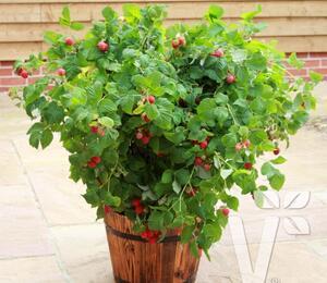 Maliník 'Ruby Beauty' - Rubus idaeus 'Ruby Beauty'