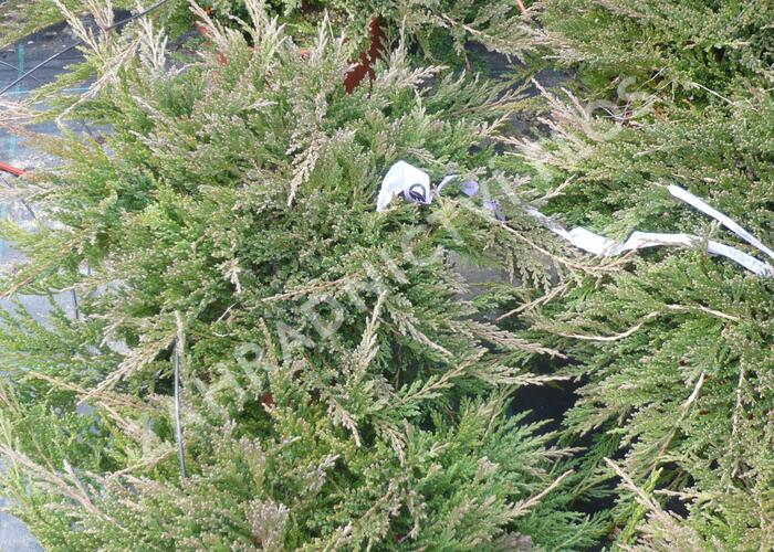 Jalovec polehlý 'Prince of Wales' - Juniperus horizontalis 'Prince of Wales'