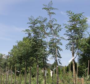 Jeřáb obecný 'Moravský sladkoplodý' - Sorbus aucuparia 'Moravský sladkoplodý'