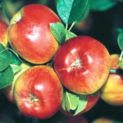 Jabloň podzimní 'Prima' - Malus domestica 'Prima'