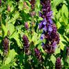 Šalvěj nádherná 'New Dimensions Blue' - Salvia superba 'New Dimensions Blue'